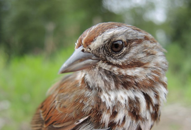 The Song Sparrow (Melospiza melodia) is a sentinel species of mercury contamination in the Finger Lakes Region. Photo credit: A. Jackson.