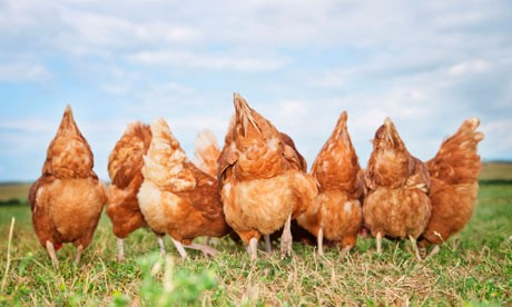 Photo Credit: http://sdsustainable.org/event/ecological-backyard-chickens-101/