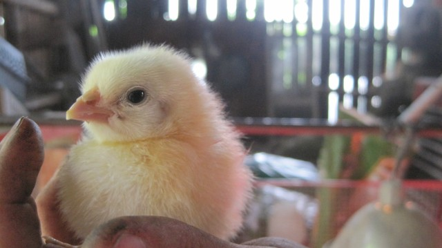 chicken2_mekala